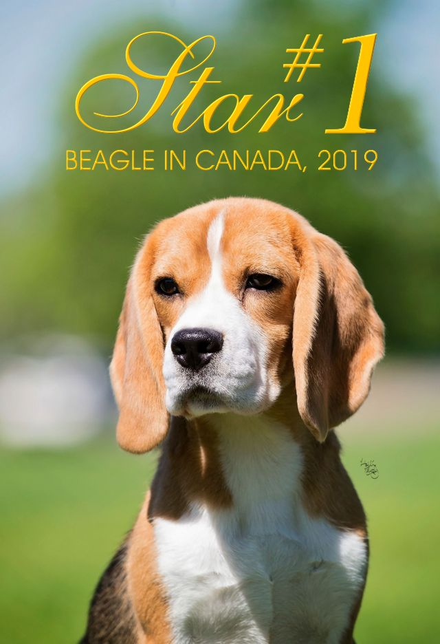 Welcome To Shillington Kennels Home Of Champion Beagles Kim And