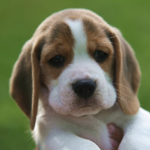 Shillington Kennels - Available Beagle Puppies