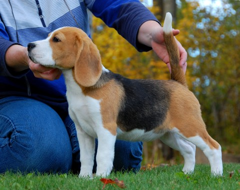 Softie, the Beagle Puppy